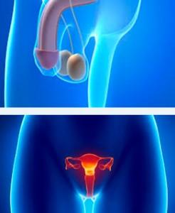 testiculos-testosterona-y-ovarios